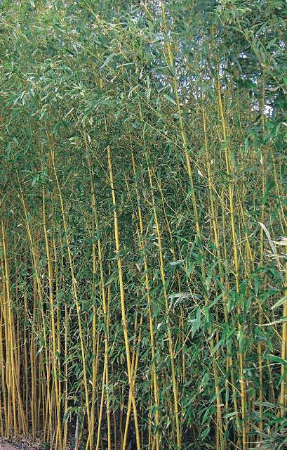 Bambus Sichtschutz Karlsruhe : Bambus wächst sich zur Hecke aus. Bei ...